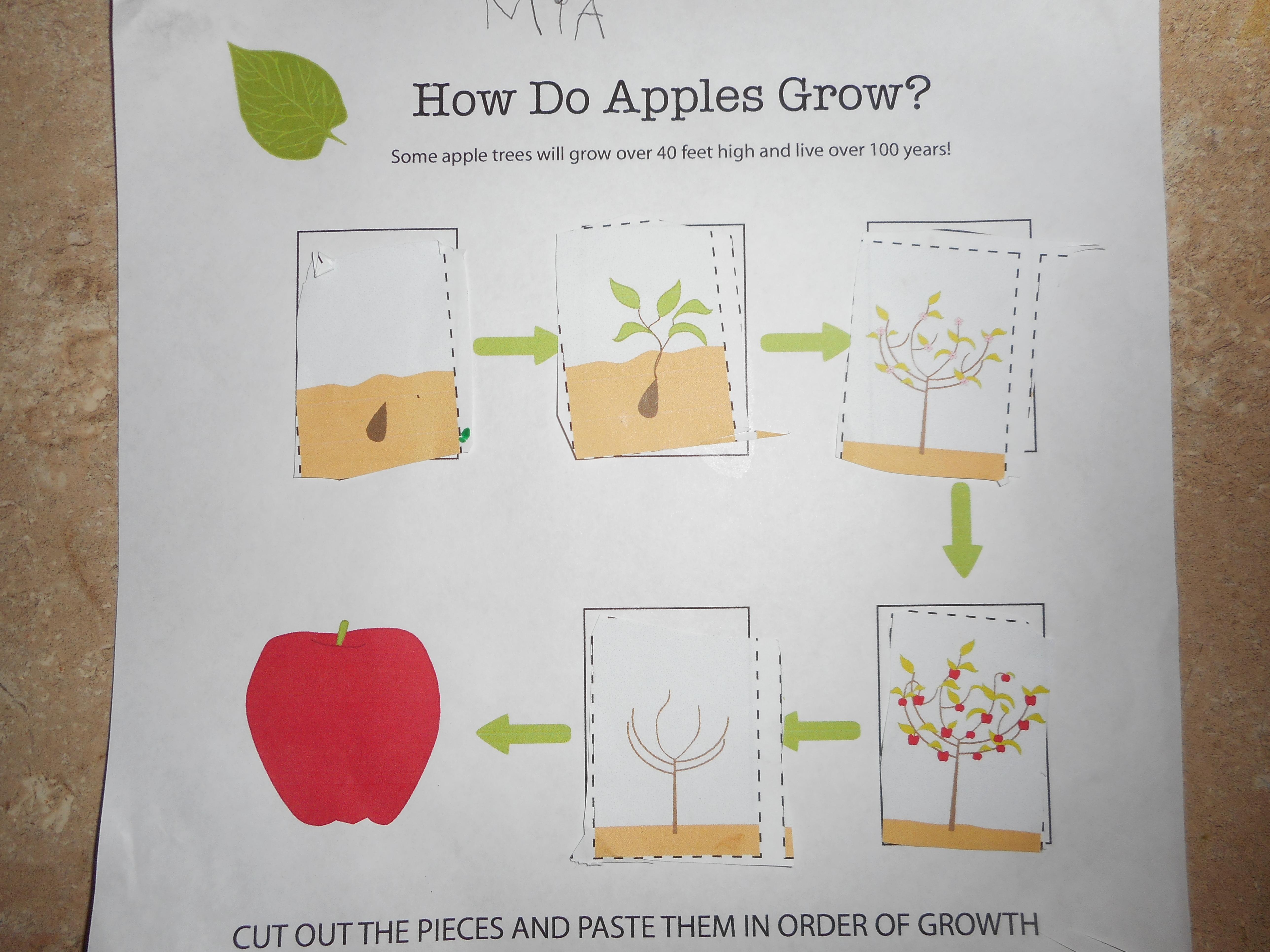 Apples Apples Apples – Apple Life Cycle Worksheet